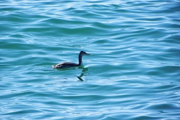 Pato con largo pico en el agua