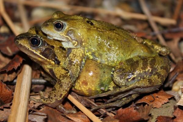 Dos ranas entre hojas