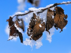 Postal: Hojas cubiertas de nieve
