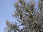 Nieve en las agujas y ramas del pino