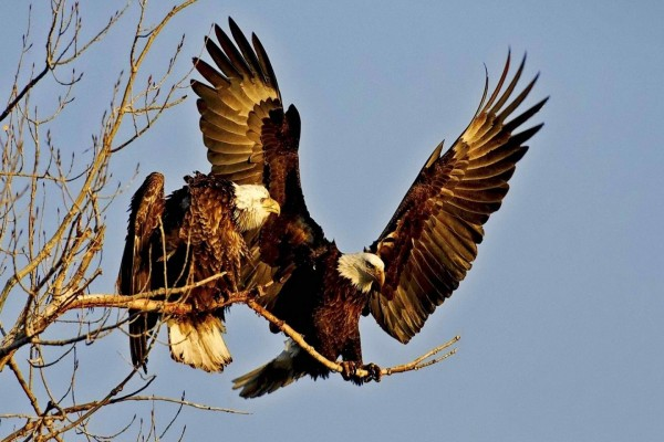Dos águilas paradas sobre una rama