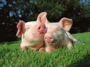 Postal: Dos cerditos amigos en la hierba