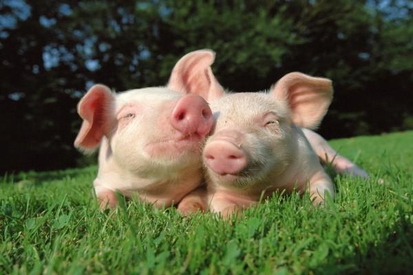Dos cerditos amigos en la hierba