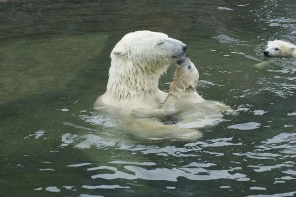 Mamá osa jugando con sus hijitos