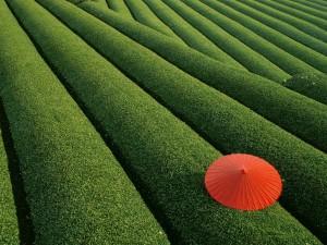 Sombrilla roja en el campo verde