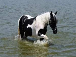 Caballo caminando en el agua