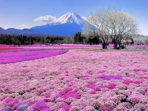 El monte Fuji y un colorido manto de flores