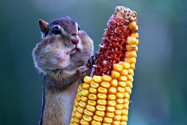 Ardilla comiendo una mazorca de maíz
