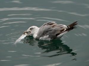 Postal: Gaviota en el agua comiendo un pez