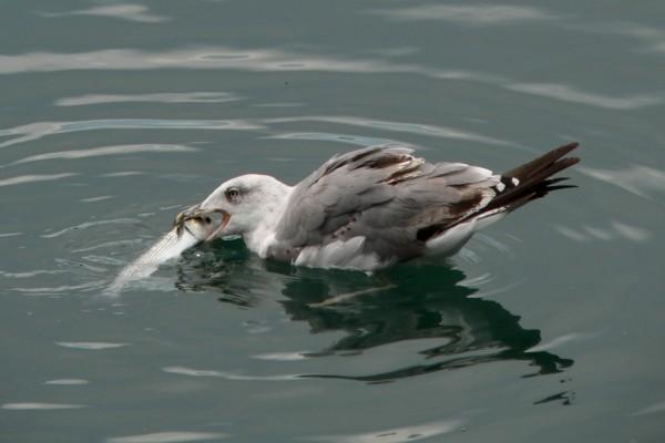 Gaviota en el agua comiendo un pez