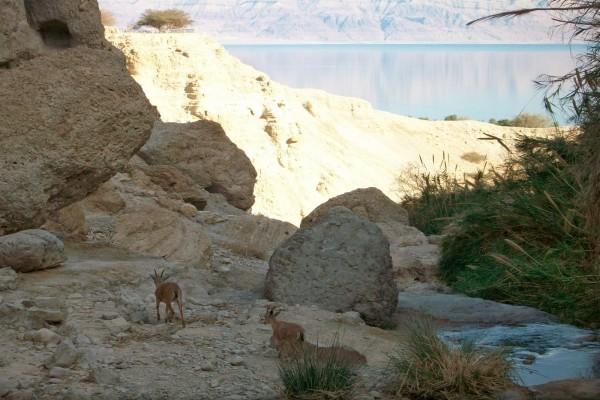 Cabras entre las rocas