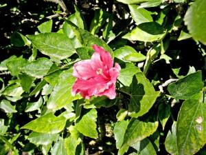 Flor de hibisco recibiendo la luz del sol