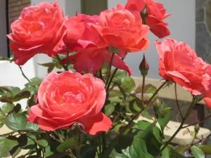 Bonitas rosas en el jardín