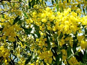 Postal: Mimosas amarillas