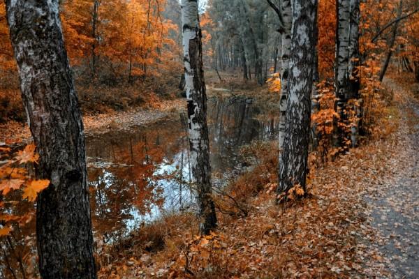 Abedules a orillas de un estanque