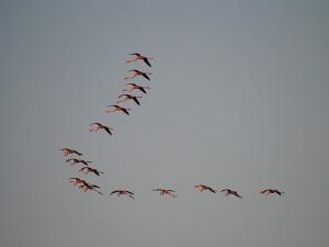 Postal: Flamencos volando por el cielo