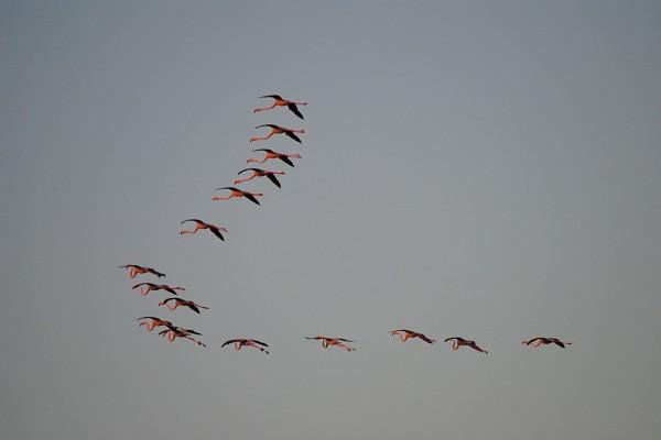 Flamencos volando por el cielo