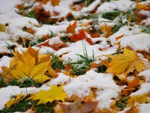 Hojas secas entre la nieve
