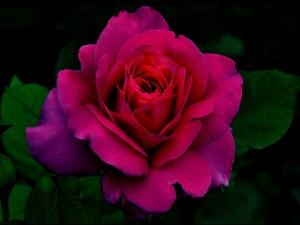 Coqueta rosa