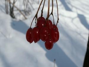 Bayas rojas en la rama del árbol