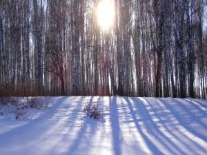 El sol entre los árboles ilumina el suelo nevado