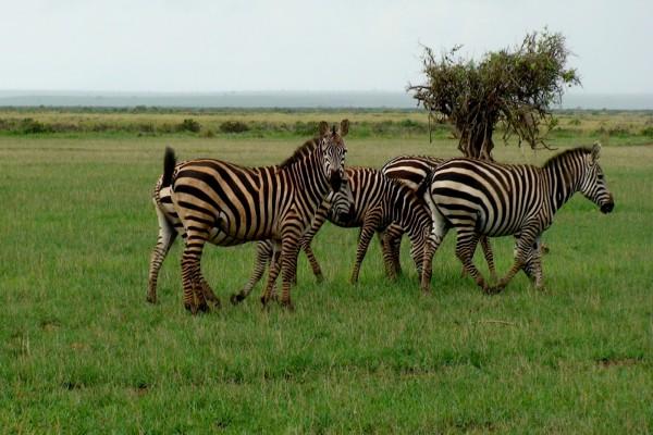 Un grupo de cebras
