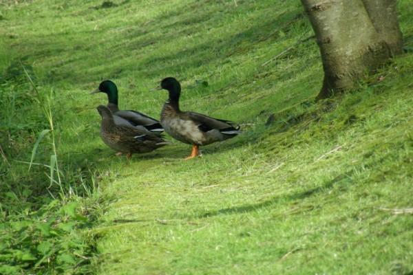 Patos en la hierba