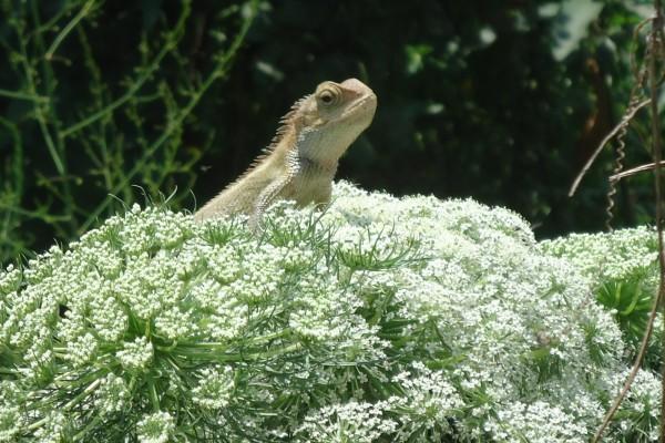 Lagarto junto a las florecillas blancas