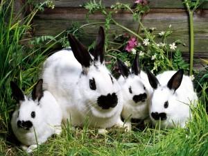 Postal: Tres conejitos blancos y negros con su mamá