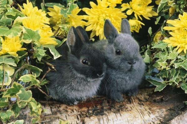 Pareja de conejitos negros