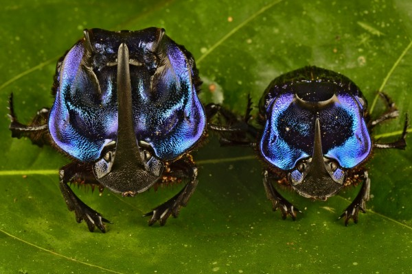 Escarabajos (Coprophanaeus lancifer)