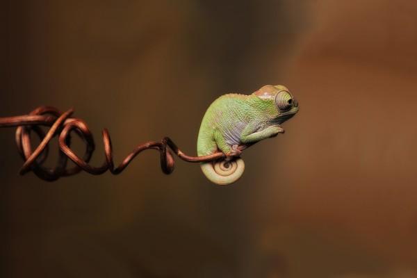 Pequeño camaleón en el extremo de la rama