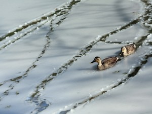 Patos en el hielo