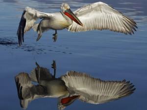 Postal: Pelícano volando sobre el agua