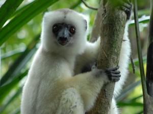 Lemur sifaca sedoso