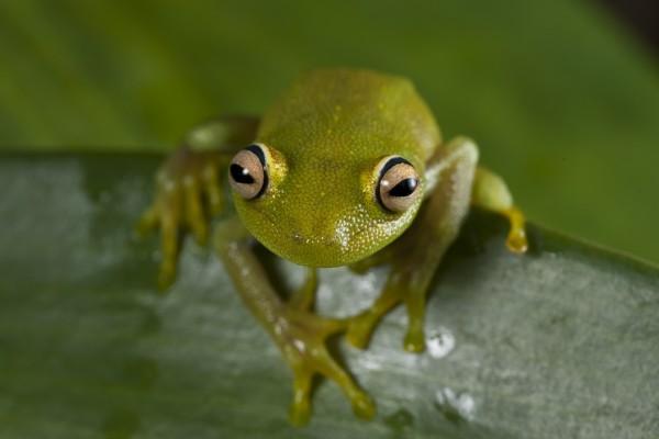 Ojos saltones de la rana verde