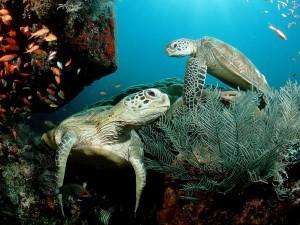 Dos tortugas bajo el mar