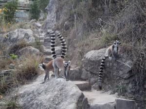 Lemures en las rocas