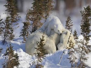 Osezno sobre la osa polar dormida