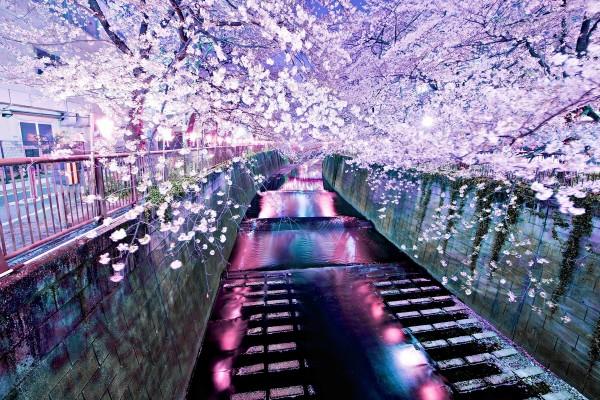 Flores de cerezo en el canal