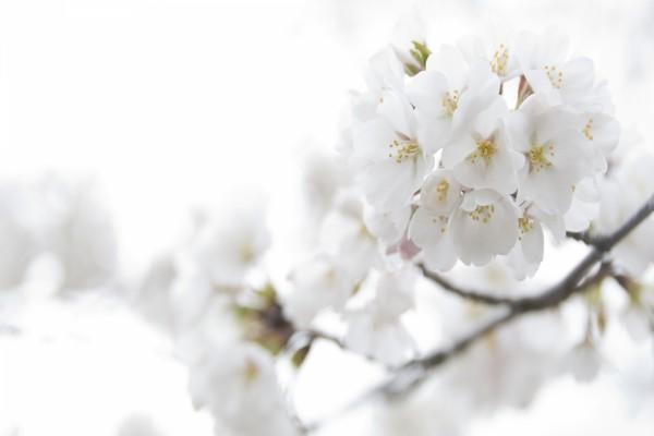 Delicadas flores blancas en la rama