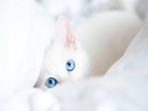 Postal: Gato de ojos azules