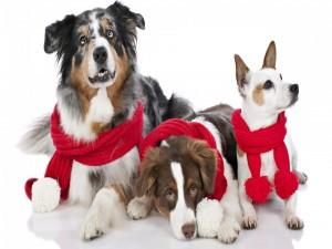 Postal: Perritos con bufanda roja