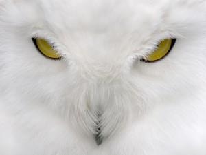 Postal: Los ojos amarillos de la lechuza