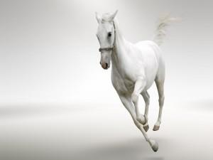 Postal: Caballo blanco corriendo