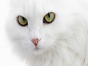 Postal: La mirada del gato blanco