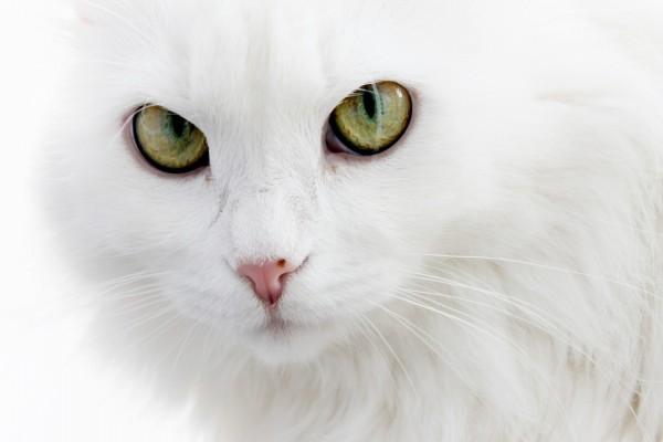 La mirada del gato blanco
