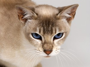 Gato de pelo corto