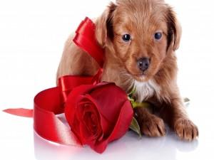Postal: Un perrito y una rosa roja