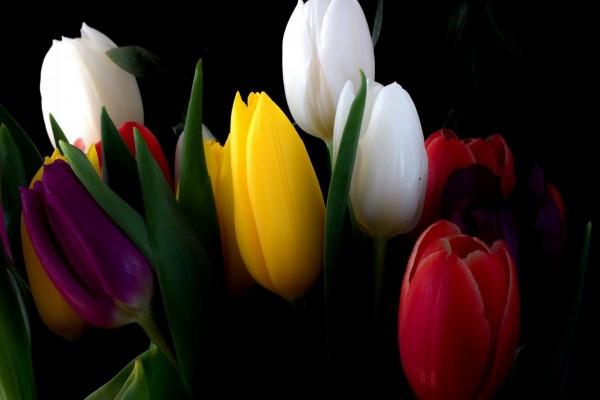 Un ramo de tulipanes en fondo negro